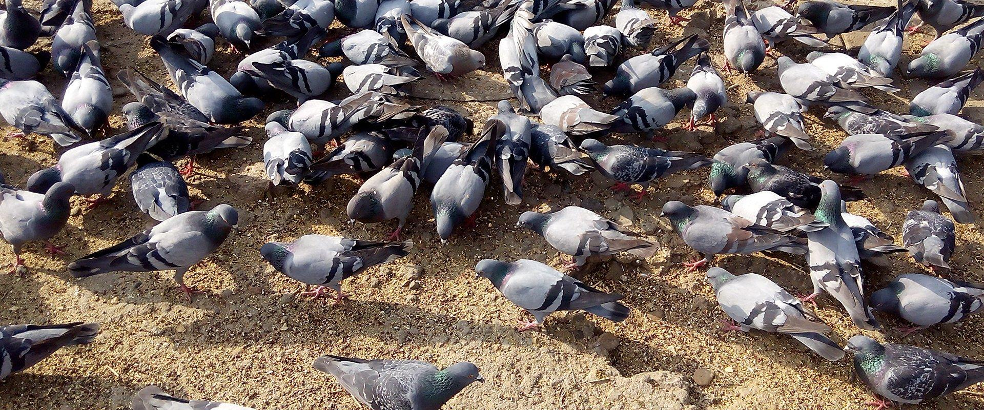 pigeons feeding on birdseed