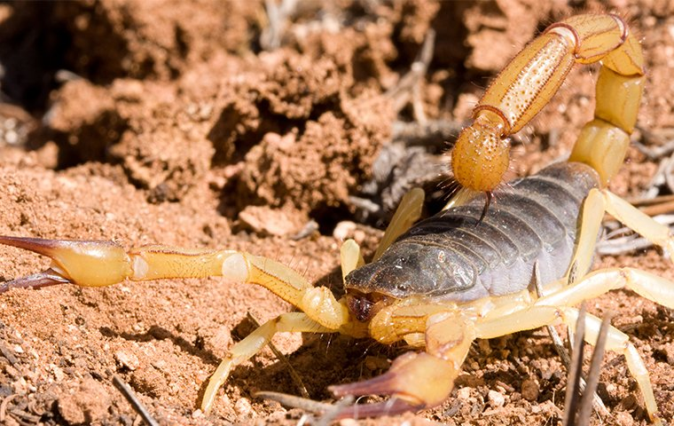 a large scorpion on property