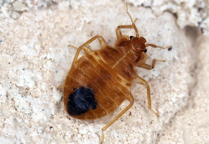 a bed bug crawling on a mattress in bayville