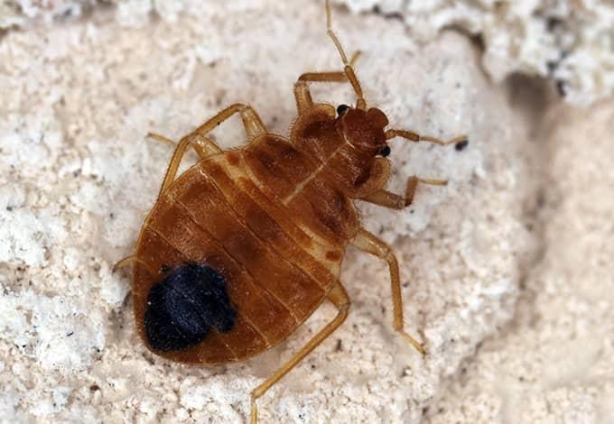 a bed bug crawling on furniture in sea cliff new york