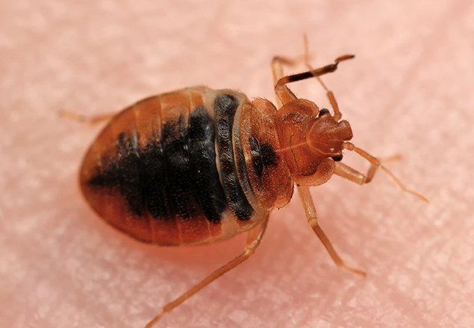bed bug up close on skin