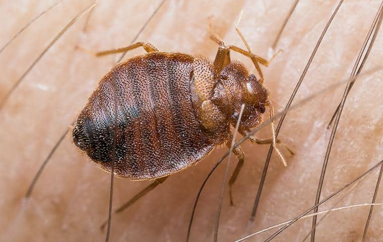 a bed bug crawling on a persons skin in connecticut
