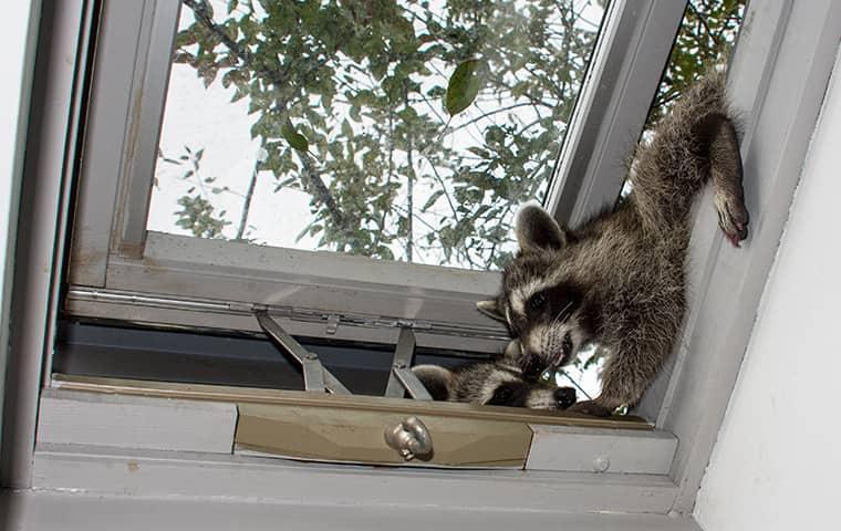 raccoons climbing in through attic window