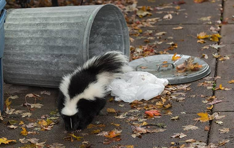 skunk getting into garbage