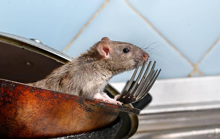 mouse in a kitchen