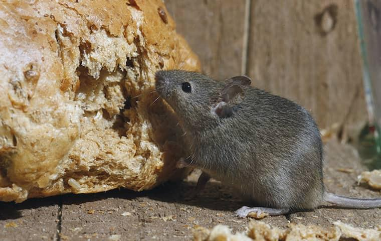 mouse eating bread in kitchen