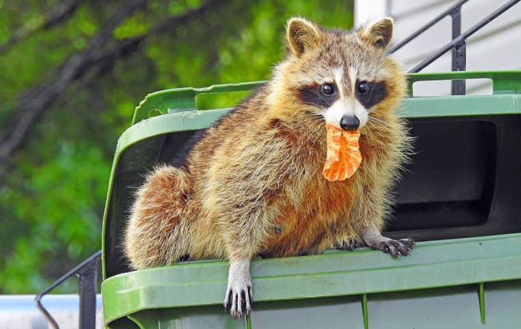 raccoon in a trash can
