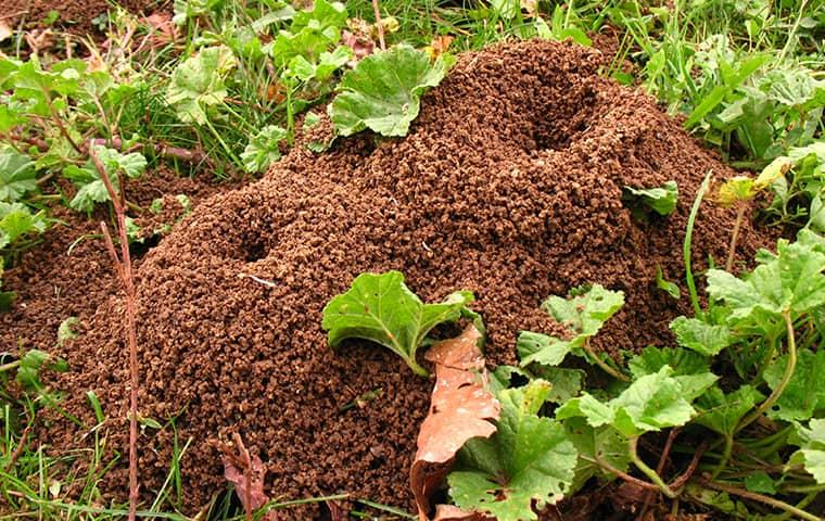several mounds of ant hills in the middle of a new york yard