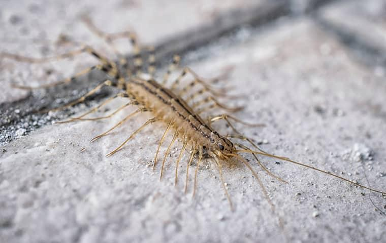 centipede crawling on a sidewalk