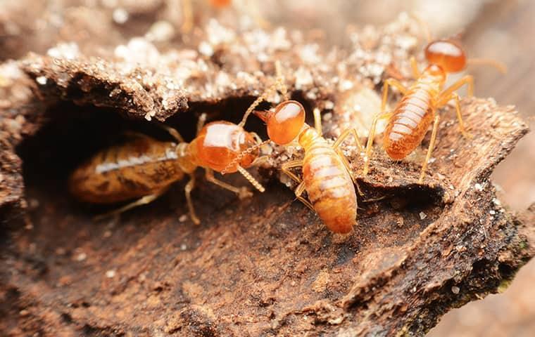 termites destroying wood