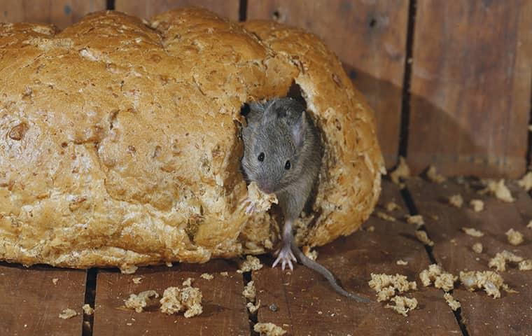 house mouse eating bread in kitchen