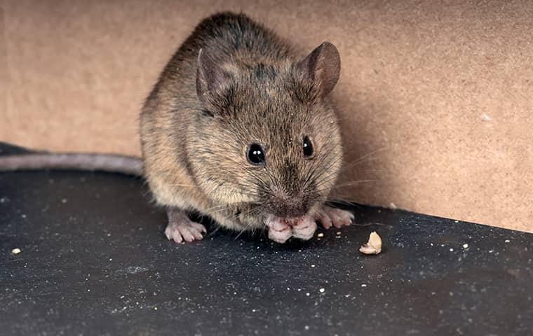 rodent eating food in a home