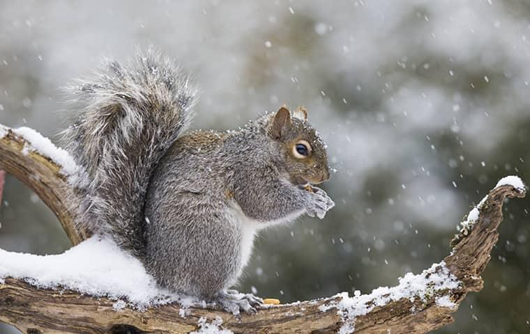 squirrel on a log in the winter
