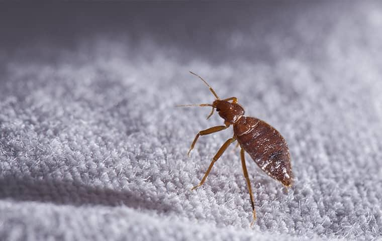 bed bug infestations on white cotton sheets in the middle of the night in a new york home