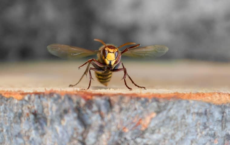 hornet hovering over cut log