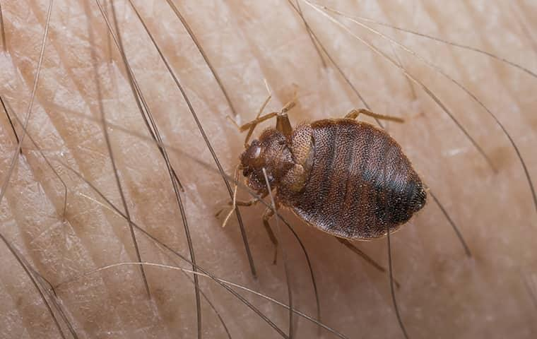 bed bug crawling on a person