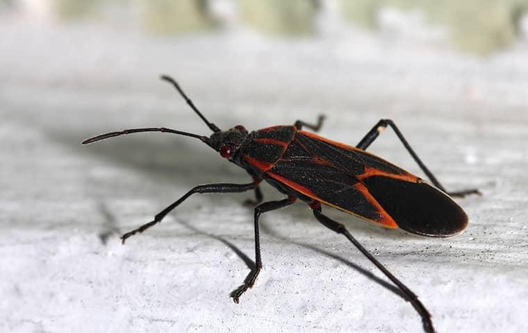 box elder bug up close