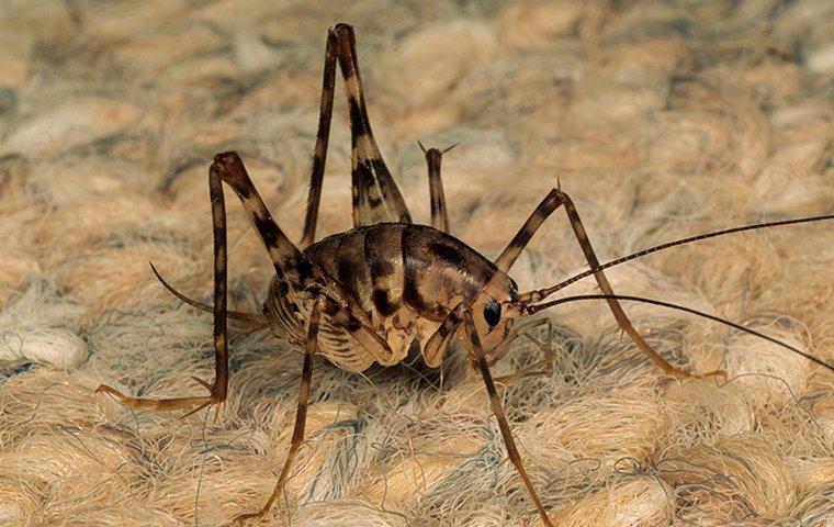 camel cricket on rug