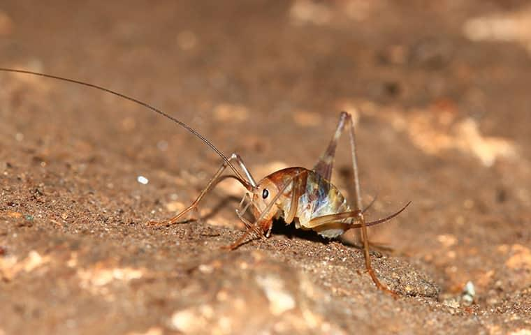 camel cricket in basement of westchester county home