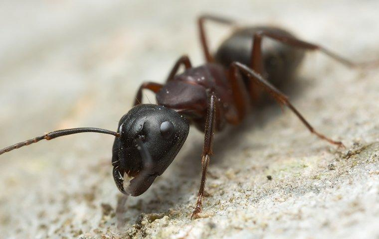 a carpenter ant crawling on sawdust