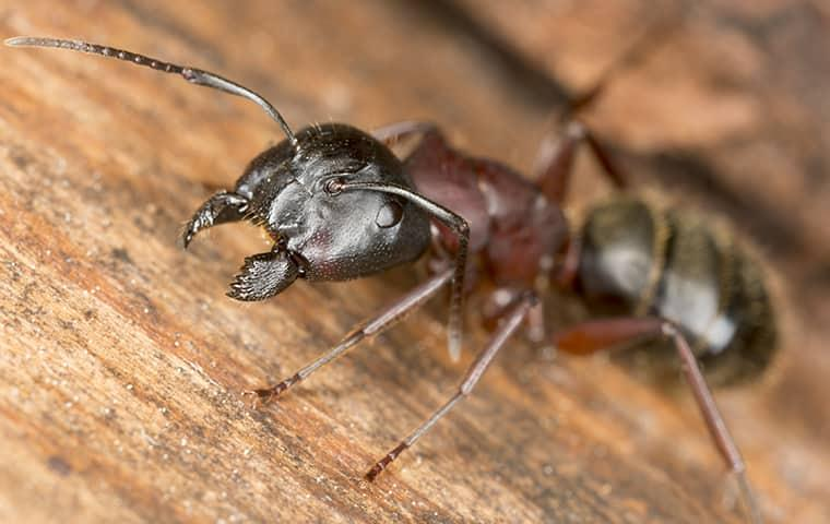 a large carenter ant with its mouth open as it is about the nibble away at a wooden structure on a new york home