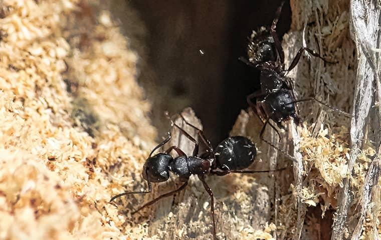 carpenter ant in the sand