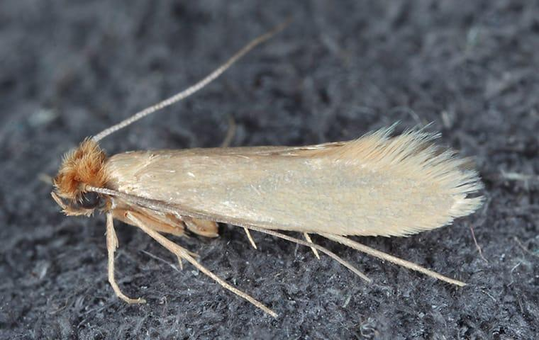 up close image of a clothes moth in a closet