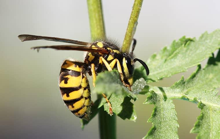 yellow jacket on a home plant