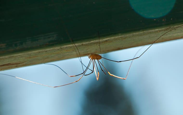 a daddy long legs spider crawling along a new york home