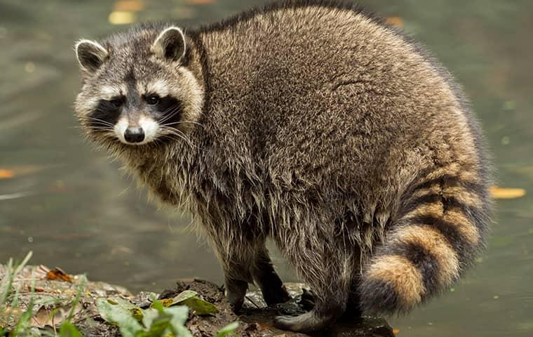 raccoon standing near water
