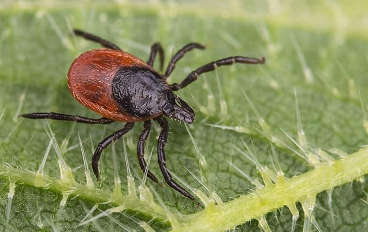 a deer tick looking for its next host to meal on as it waits along a vibrant green leaf in a westchester new york yard