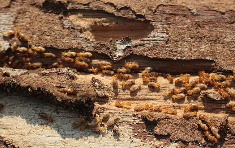 termites crawling in rotten wood