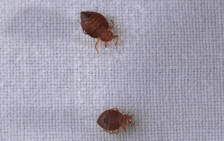 a pair of bed bugs on someones bed