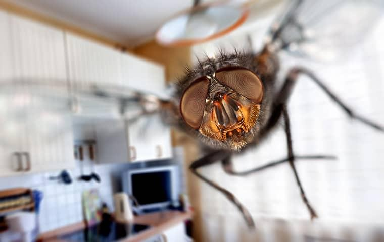 a house fly buzzing around a new york kitchen as it darts torward the home owner
