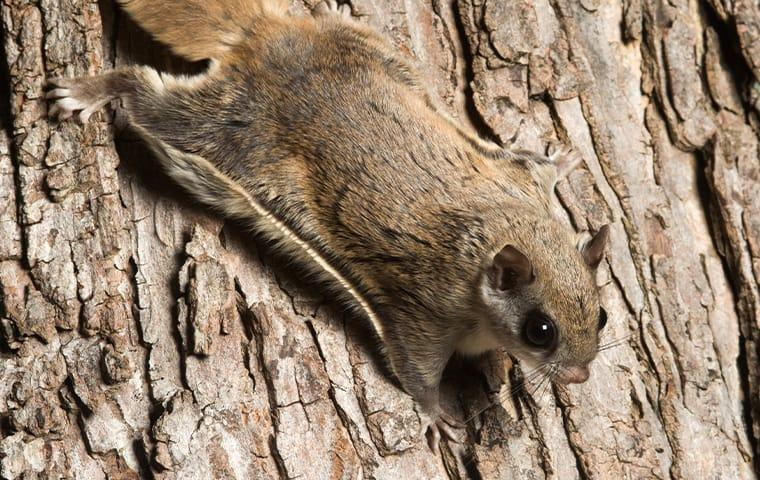 a flying squirrel infestation in a garden city new york back yard