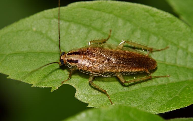 a german cockroach on a green leaf