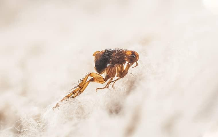 close up image of a flea