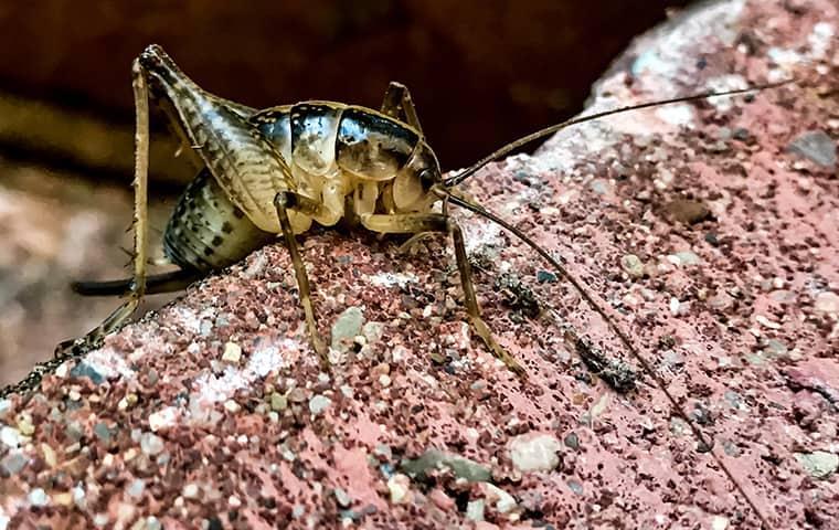 close up image of a camel cricket