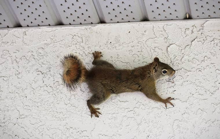 squirrel scaling a house wall