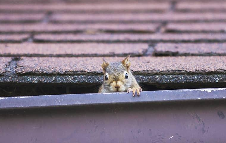 squirrel in gutter on roof
