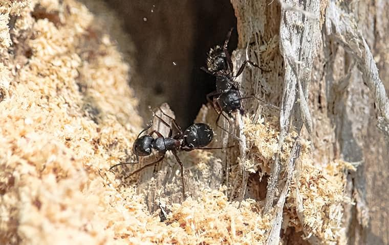 close up image of carpenter ants
