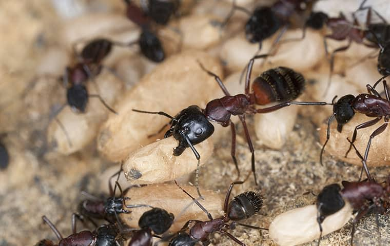 carpenter ants carrying food