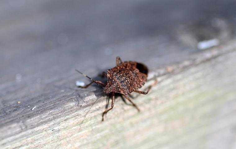 stink bugs in ny