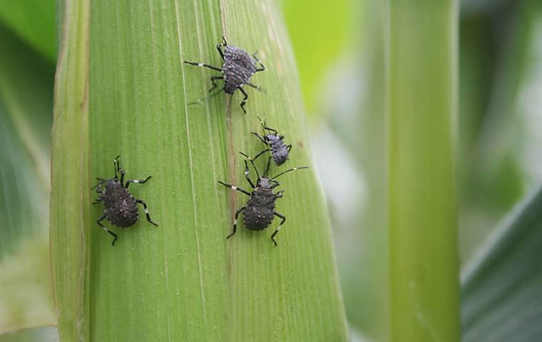 get professional help to remove stink bugs from your new york home