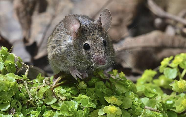 house mouse sitting in grass
