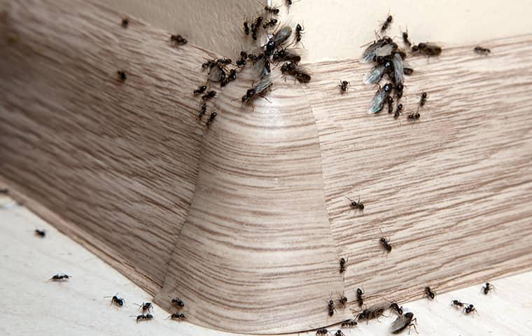 ants crawling along baseboard in home