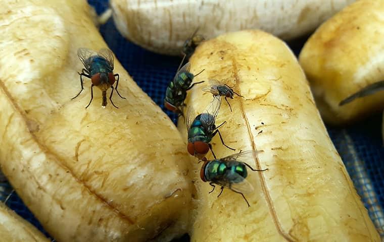 flies eating peeled bananas