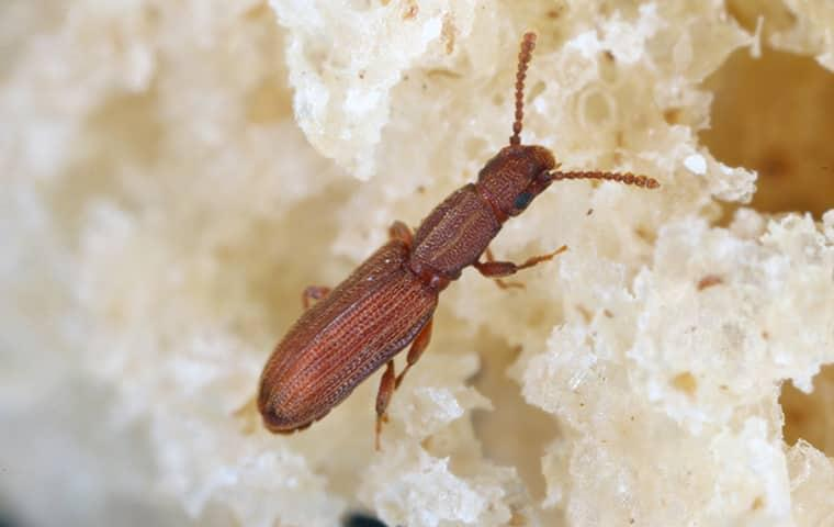 saw toothed grain beetle eating bread in pantry