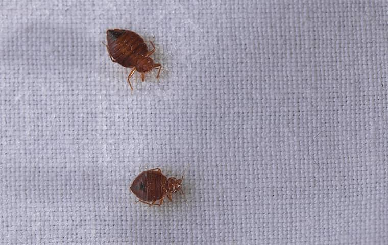two bed bugs on mattress