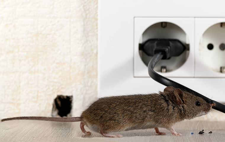 house mouse near wires in a long island house